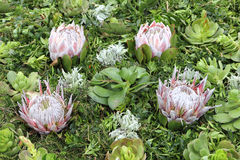 Arrangement with Succulents and Protea at the Madeira Flower Fes Stock Photography