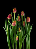 Arrangement of tulips Royalty Free Stock Images