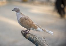 Arrangement turc de pigeon sur la branche d'arbre photographie stock