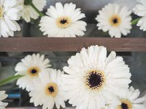 Arrangement of white gerbera flowers royalty free stock photos