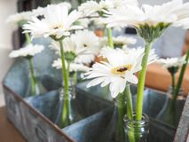 Arrangement of white gerbera flowers in small glass vases. Standing in a tin box Stock Image