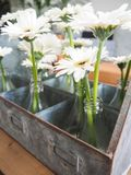 Arrangement of white gerbera flowers in small glass vases. Standing in a tin box Stock Photography