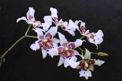 Arrangement of white orchid flowers. stock images