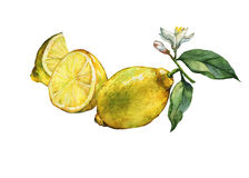 Arrangement with whole and slice fresh citrus fruit lemon with green leaves and flowers. Royalty Free Stock Photo