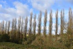 Arrangera i rak linje träd med bakgrund för blå himmel - Leamington Spa UK Royaltyfri Foto