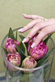 Arranging tulips. A woman's hand arranging some pink tulips in a glass vase, elegant fingernails Royalty Free Stock Photo