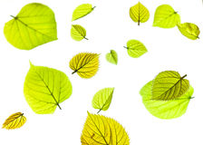 An arrangment of spring leaves. An arrangment of layers of fresh green spring leaves. slective focus on layer in forground with layers behind in soft focus Royalty Free Stock Photography
