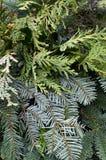 Arranjo de evergreens misturados para o Natal Imagens de Stock