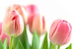 Arranjo do Tulip Imagens de Stock