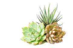 Arranjo fundo branco dos houseplants suculentos da planta verde vermelha de Echeveria e de zebra imagem de stock
