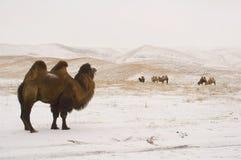 Arranque de cinta del camello cerca de su manada Imagen de archivo libre de regalías