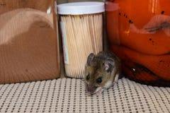 Arrastrándose hacia fuera entre de productos alimenticios un ratón de casa gris salvaje, musculus de Mus, en una cocina fotos de archivo