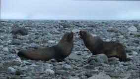 Arrastramiento de dos lobos marinos a lo largo de pequeñas piedras Andreev almacen de video