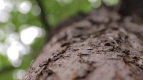 Arrastramiento de las hormigas en corteza de un árbol metrajes