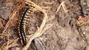 Arrastramiento del milpiés en la tierra seca metrajes