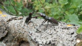 Arrastramiento grande del cervus de Lucanus de dos escarabajos de los ciervos a lo largo del árbol Escarabajos raros en el bosque almacen de video