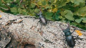 Arrastramiento grande del cervus de Lucanus de dos escarabajos de los ciervos a lo largo del árbol Escarabajos raros en el bosque metrajes