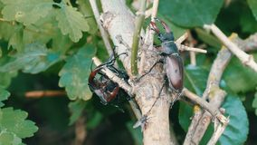 Arrastramiento grande del cervus de Lucanus de los escarabajos de los ciervos a lo largo del árbol Escarabajos raros en el bosque almacen de video