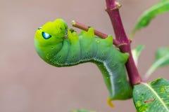 Arrastramiento verde del gusano Fotografía de archivo libre de regalías