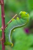 Arrastramiento verde del gusano Fotografía de archivo