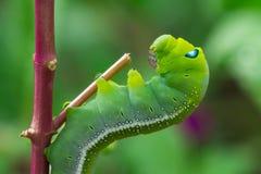 Arrastramiento verde del gusano Imagen de archivo libre de regalías