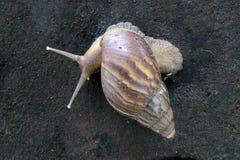 Arrastre africano del caracol de tierra Foto de archivo libre de regalías