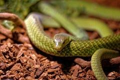 Arrastre en el terrario - serpiente de rata verde Imagen de archivo