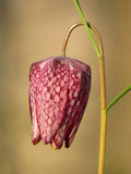 Arrastre la flor del ajedrez del meleagris del Fritillaria del fritillary de la cabeza del ` s Imagen de archivo