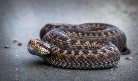 Arrastre, serpiente europea común, berus del Vipera Imágenes de archivo libres de regalías