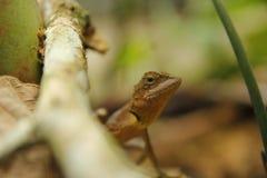Arrastres del lagarto Foto de archivo libre de regalías