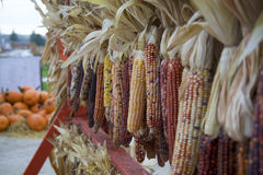 Array of Drying Yellow, White, Red, Brown and Purple Indian Corn Hangs by Pile of Big, Colorful Pumpkins Stock Image