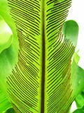 Array of new life. It is a fern leaf of ' Asplenium nidus L ' species, covered with array of spores stock photography