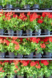 Array of red pot flowers on shelves Royalty Free Stock Image