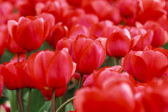 Array of red tulips Royalty Free Stock Images