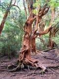 arrayan δέντρο Στοκ φωτογραφία με δικαίωμα ελεύθερης χρήσης