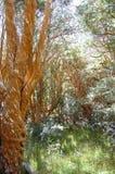 Arrayan-Bäume - Neuquen - Argentinien Stockbilder