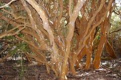 Arrayan-Bäume - Neuquen - Argentinien Stockfoto