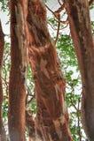 Arrayan tree in Patagonia, Argentina Stock Image
