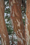 Arrayan tree in Patagonia, Argentina Stock Photos