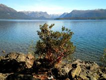 Arrayane Tree in Patagonia. Beautiful view of an arrayane tree and lake in Patagonia royalty free stock photography