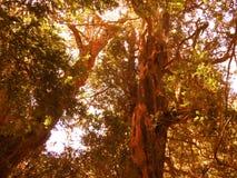 Arrayanes森林 库存图片