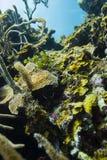 Arrecife de coral atlántico Imágenes de archivo libres de regalías
