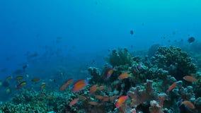 Arrecife de coral con Anthias almacen de video
