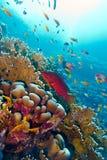 Arrecife de coral con cephalopholis exóticos rojos de los pescados en la parte inferior del mar tropical Imagen de archivo libre de regalías