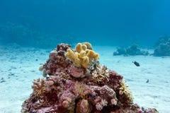 Arrecife de coral con el coral suave amarillo en la parte inferior del mar tropical Imagen de archivo libre de regalías