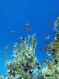 Arrecife de coral con el gran coral amarillo del fuego y pescados en la parte inferior del mar tropical Imagen de archivo libre de regalías