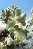Arrecife de coral con el coral suave en el mar tropical, subacuático Fotografía de archivo libre de regalías