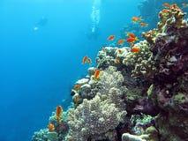Arrecife de coral con los buceadores y los anthias exóticos de los pescados en la parte inferior del mar tropical Foto de archivo