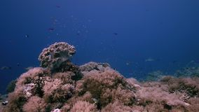 Arrecife de coral con los corales y los pescados suaves de la abundancia Anthias y mordedores jorobados 4k almacen de metraje de vídeo
