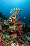 Arrecife de coral en el Mar Rojo. Fotos de archivo libres de regalías